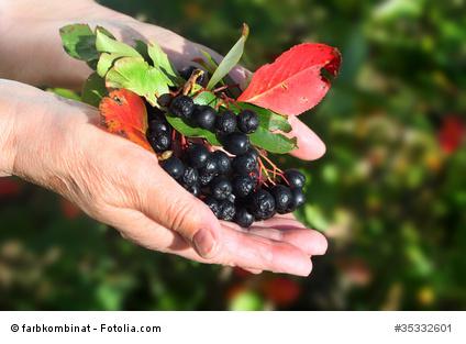 Aronia Pflanze